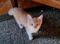 "Baby Male Cat - Domestic Short Hair - orange and white: ""George"""