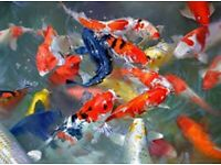 POND FISH FOR SALE - KOI, TENCH, ORFE, GOLDFISH, SHUBUNKINS AND MORE!