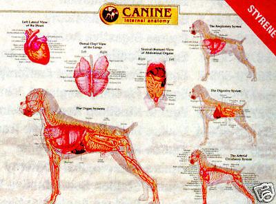 Canine Internal Anatomy Wall Chart 92525 Dog