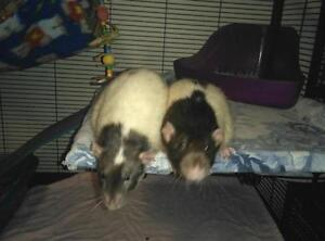 """Adult Male Small & Furry - Rat: """"Gus & Jack"""""""