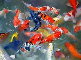 POND fish, TROPICAL fish, FANCY GOLDFISH and much more. Great prices!! Live Fish