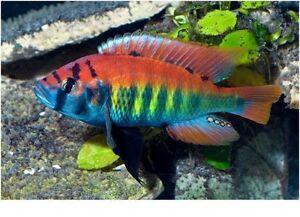 Poisson d'aquarium cichlid africain