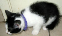 7 weeks ragdoll/american domestic black and white female