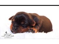 Yorkshire terrier puppies
