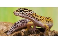 5 female leopard gecko's for sale