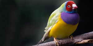 DILUTE BACK gouldian finch