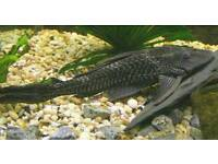 Pleco fishes for sale £7.99