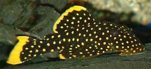Quality plecos for sale!