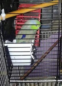 Male green/rainbow parrotlet