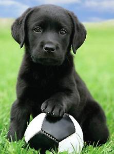 Chiot labrador noir pour début août