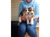 Show Beagle puppies