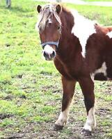 "Young Male Horse - Miniature Horse: ""JB"""