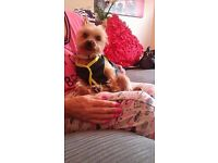 3 year old yorkshire terrier girl