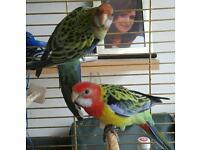 Pennant Parrots