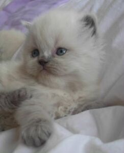 Cute and cuddly Himalayan sweethearts (Now accepting deposits!)