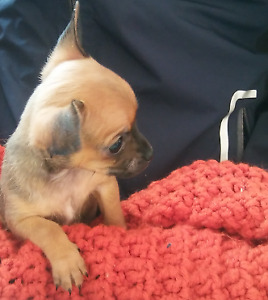 Female chestnut color Chihuahua pupp for 800
