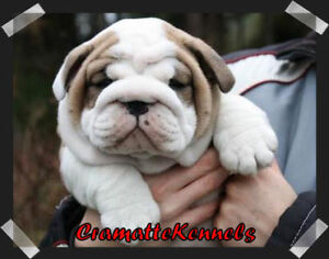 C.K.C Registered English bulldog puppies