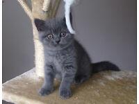 Pedigree British Blue Shorthair Kitten