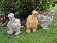 Looking for plymouth barred rock or silkie chickens