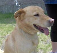 "Adult Female Dog - German Shepherd Dog-Golden Retriever: ""Fawn"""