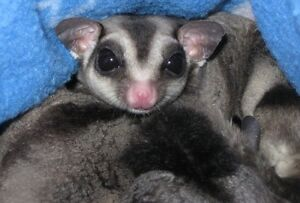 Adorable Sugar Gliders for sale one male one female
