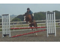 12.3 h.h WH/Jumping pony Registered Section C