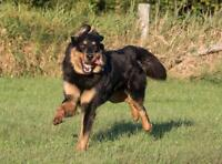 "Young Male Dog - Australian Shepherd-Rottweiler: ""Ember"""