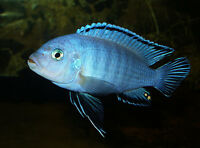 FISH - POWDER BLUE CICHLID