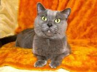 """Adult Male Cat - Russian Blue: """"Steve French"""""""