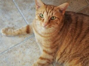 "Adult Male Cat - Domestic Short Hair: ""Indy"""