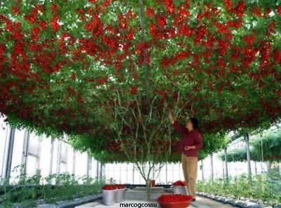 TOMATO GIANT TREE - ALBERO GIGANTE DI POMODORO, 25 SEMI + OMAGGIO + SPED GRATIS