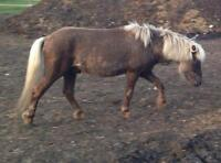 """Young Male Horse - Miniature Horse: """"Peso"""""""