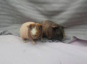 "Adult Female Small & Furry - Guinea Pig: ""Pigsy & Blush"""