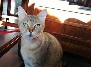 """Young Female Cat - Domestic Short Hair: """"Pebbles"""""""