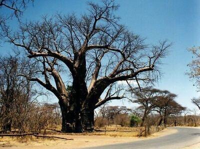 Adansonia Digitata - African Baobab Tree - Excellent Bonsai - 5 Seeds Baobab Tree Seeds