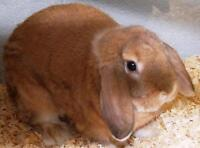 """Young Male Rabbit - Lop Eared: """"Boots"""""""