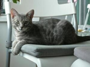 "Young Male Cat - Domestic Short Hair-Tabby (Gray): ""Bobo"""