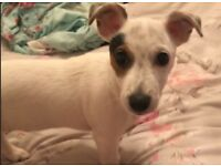 Jack Russell puppy