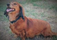 Reputable Rescue seeking forever home for 8 yr Dachshund