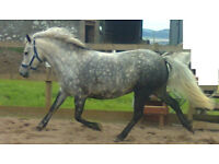 *FOR LOAN* 12.2hh bombproof pony