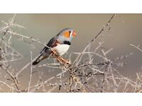 two male zebra finches need a home with other finches - Aylsham area