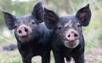 Piglets Wanted
