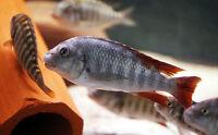Petrochromis Texas Ubwarie