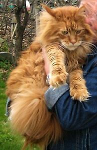 WANTED RED MAINE COON