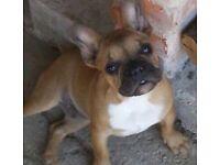 Stunning French bulldog puppie