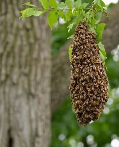 Bee swarm removal Upper North Shore St Ives Ku-ring-gai Area Preview