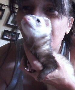 2 Female Ferrets with double ferret nation cage