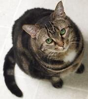 "Adult Female Cat - Domestic Short Hair-Tabby - Brown: ""Amelia"""