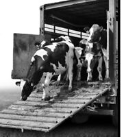 Cattle Hauling - to auction or pasture