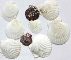 SEA SHELLS  STYLE 1 - craft, beach, sand, scrapbooking, wedding